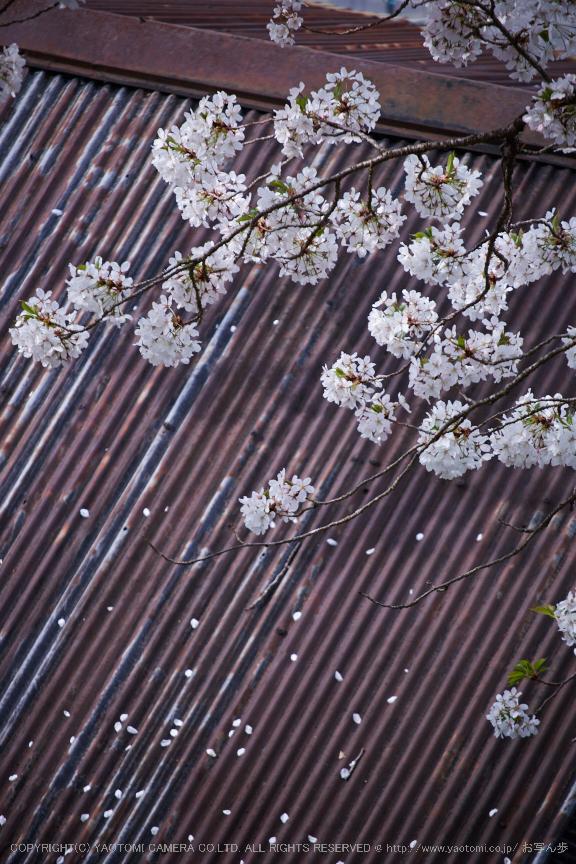 諸木野・桜(DSCF0717,F4.8,200mm)2014yaotomi_.jpg