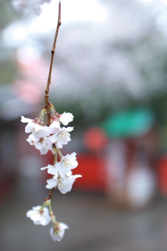 車折神社,桜_2014yaotomi_PK3_7743(F1,6_30mm).jpg