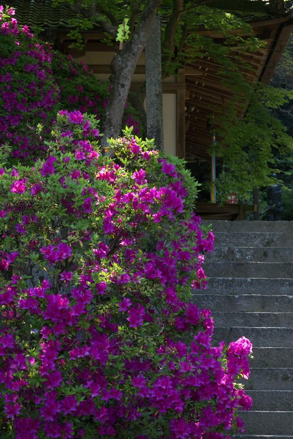 長岳寺,つつじ(P1120621,52mm,F4,5)2014yaotomi_.jpg