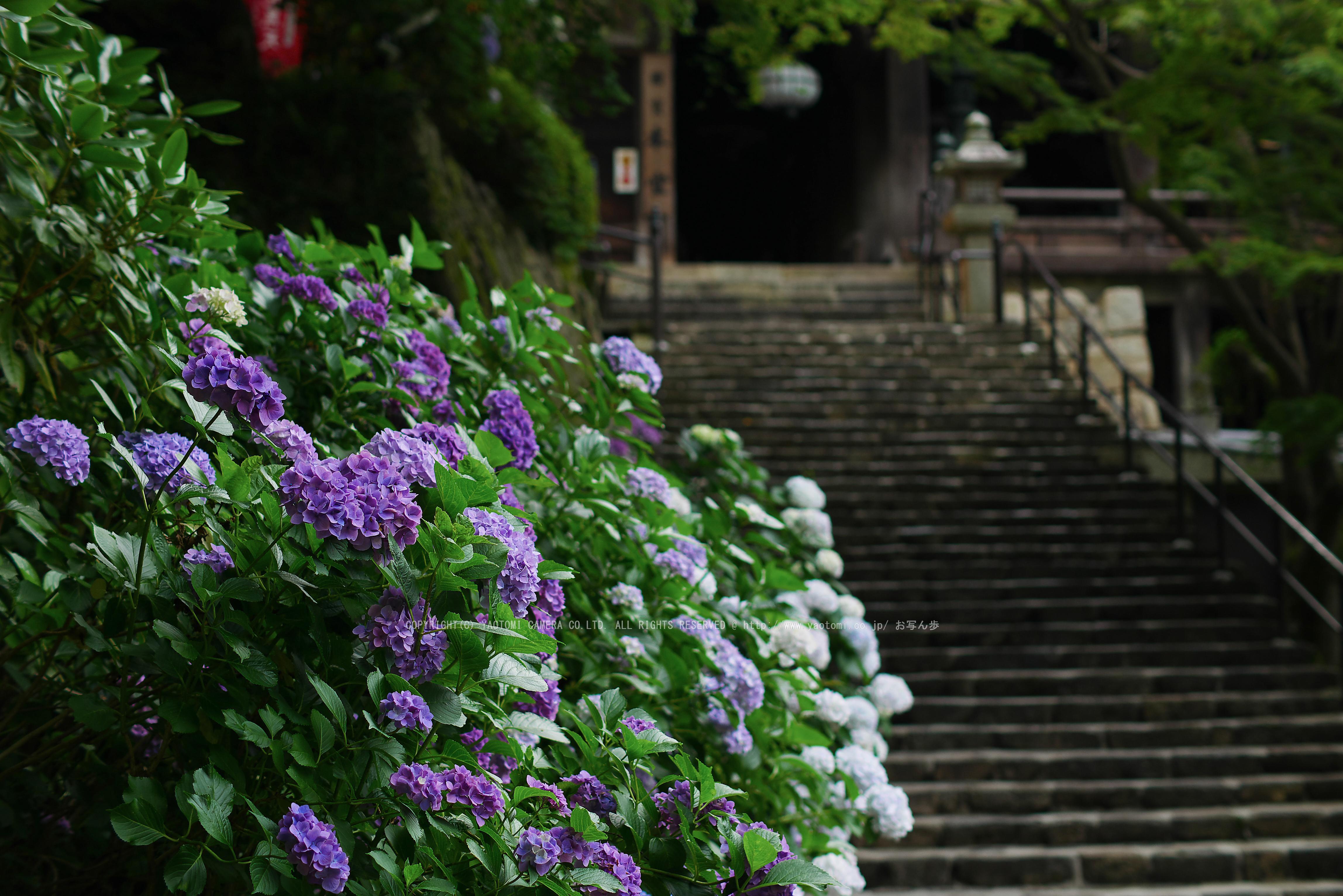http://www.yaotomi.co.jp/blog/walk/%E9%95%B7%E8%B0%B7%E5%AF%BA%2C%E3%81%82%E3%81%98%E3%81%95%E3%81%84%28P1010039%28RAW%29FL%2C2016yaotomi.jpg