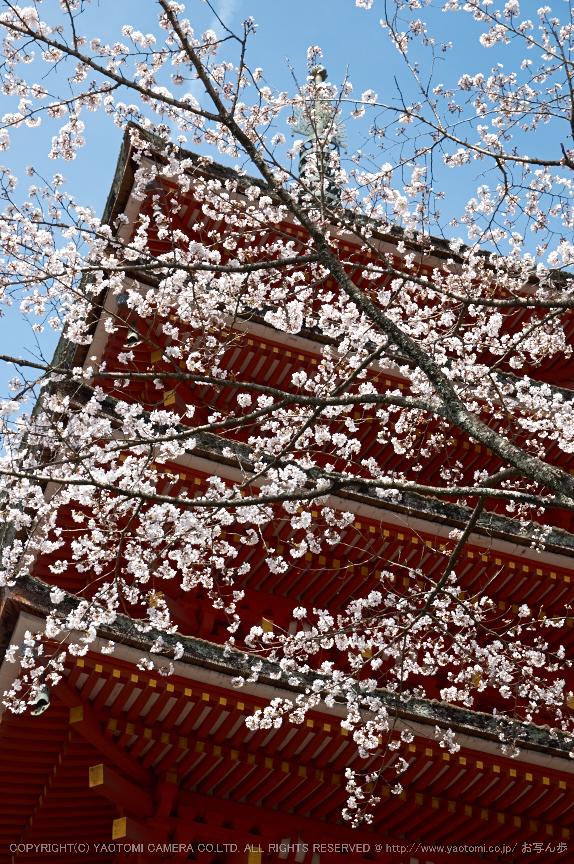 長谷寺,桜(PK3_8464,F6.3,53mm)2014yaotomi_.jpg