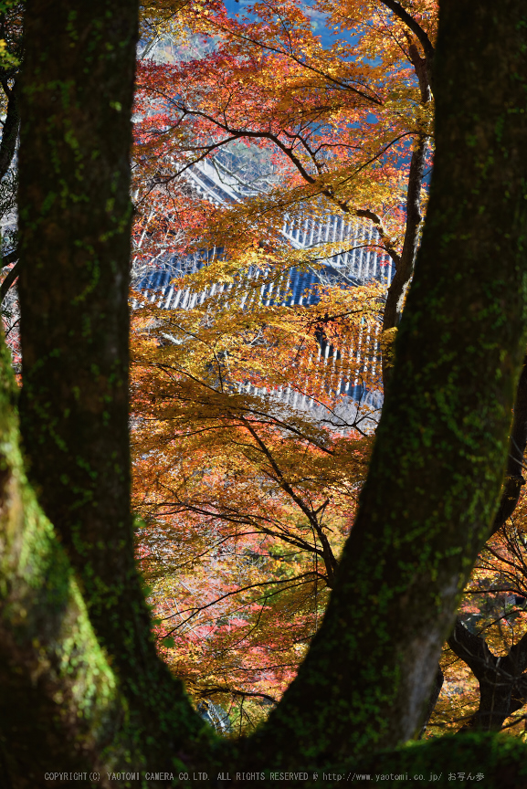 長谷寺,紅葉(DSC_1151,86mm,F5,D750)2014yaotomi.jpg