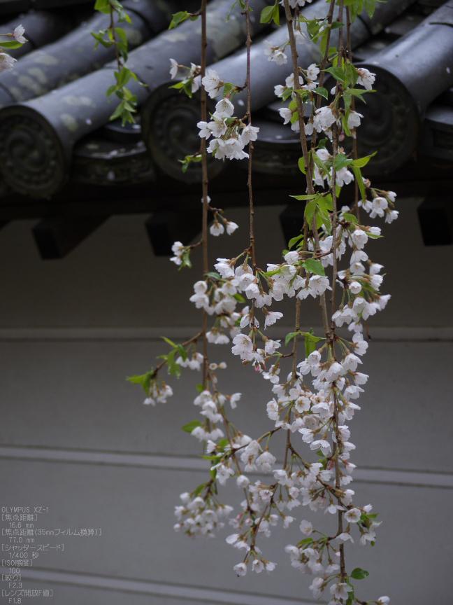長谷寺_桜_2012_yaotomi_21.jpg