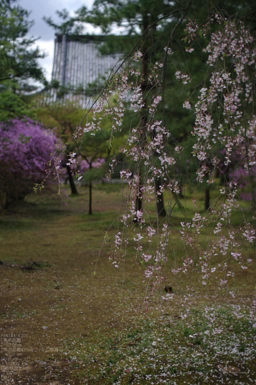 2011_4_仁和寺・桜_14.jpg