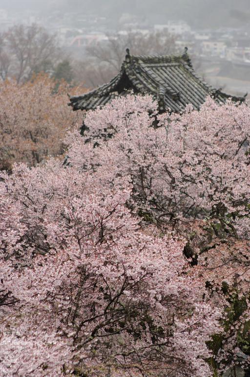 2011_4_本善寺・桜_30.jpg