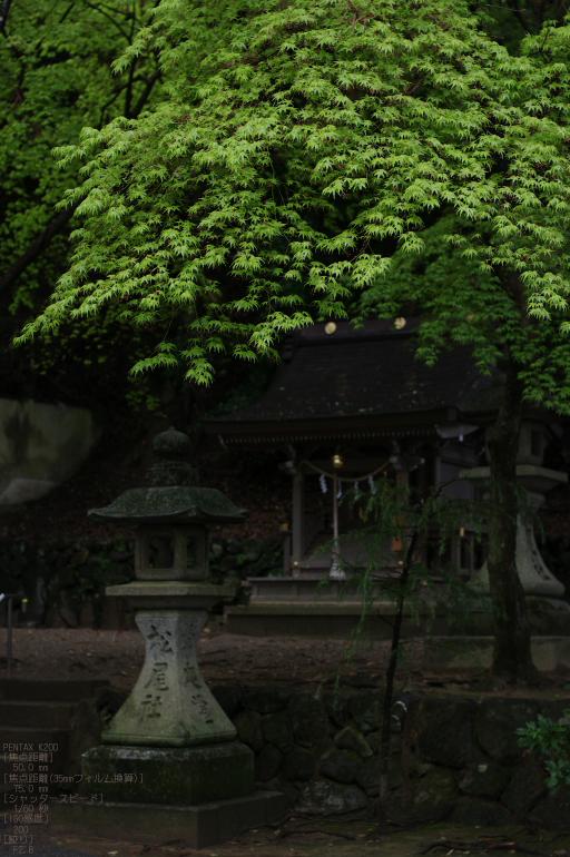 2011_4_松尾大社・山吹_10.jpg