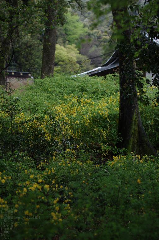 2011_4_松尾大社・山吹_4.jpg