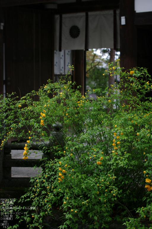 2011_4_松尾大社・山吹_7.jpg