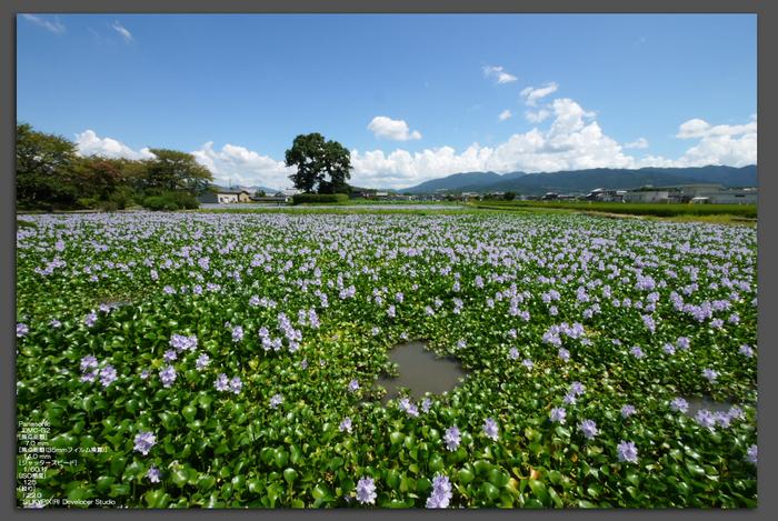 ホテイアオイ2010-1.jpg