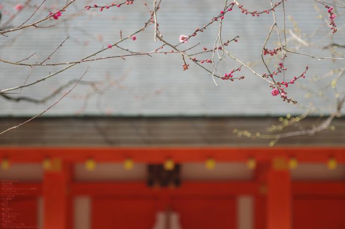 2011_北野天満宮・初梅_8.jpg