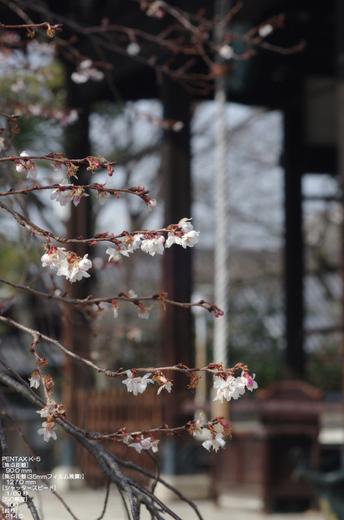 2011_妙蓮寺御会式桜_17.jpg