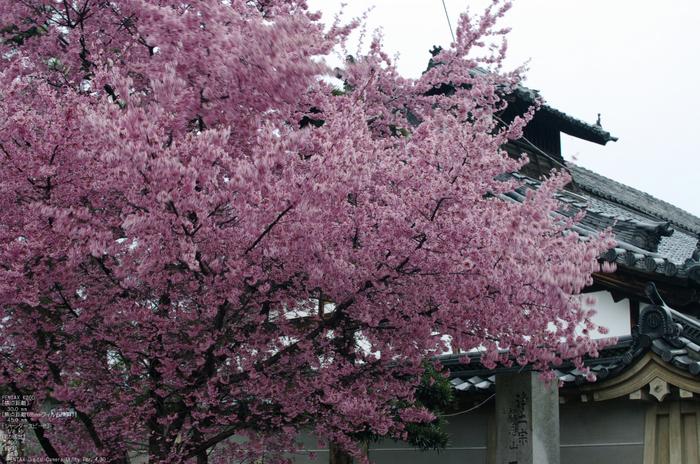 2011_3_長徳寺・桜_3.jpg