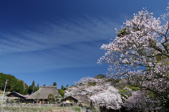 2011_4_三多気・桜_10.jpg