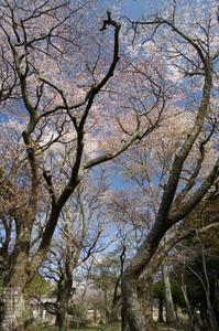2011_4_三多気・桜_2.jpg