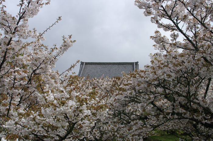 2011_4_仁和寺・桜_10.jpg