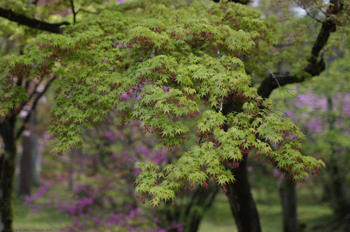 2011_4_仁和寺・桜_12.jpg