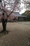 2011_4_仁和寺・桜_13.jpg