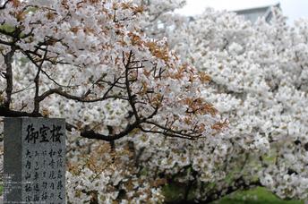 2011_4_仁和寺・桜_16.jpg