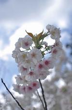 2011_4_仁和寺・桜_17.jpg