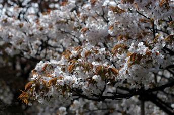 2011_4_仁和寺・桜_8.jpg