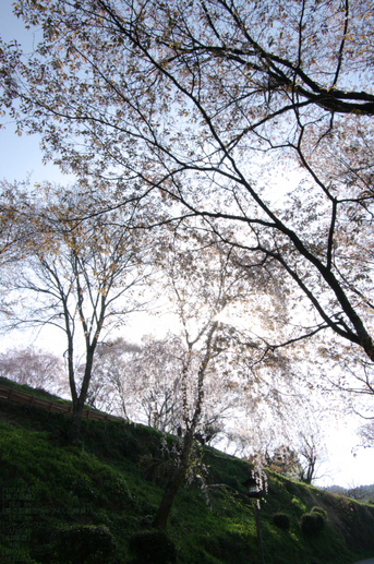 2011_4_吉野山・桜_51.jpg