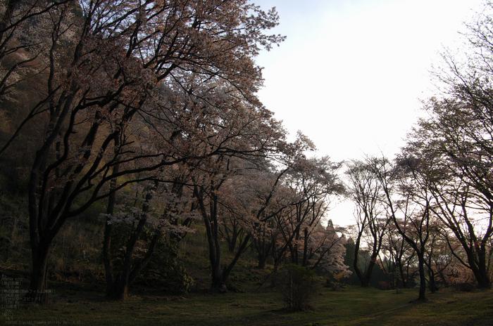 2011_4_屏風岩・桜_2.jpg
