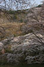 2011_4_屏風岩・桜_4.jpg