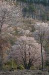 2011_4_屏風岩・桜_ex2.jpg