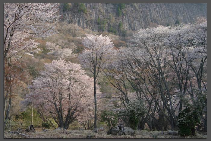 2011_4_屏風岩・桜_top2.jpg