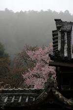 2011_4_本善寺・桜_21.jpg