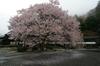 2011_4_本善寺・桜_22.jpg