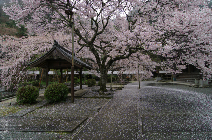 2011_4_本善寺・桜_23.jpg