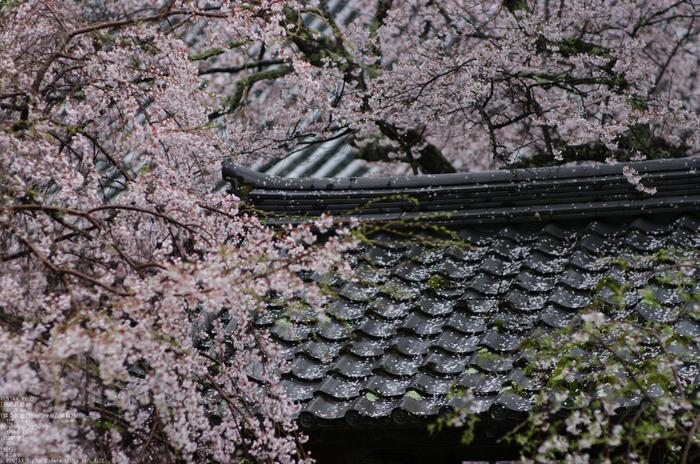 2011_4_本善寺・桜_25.jpg