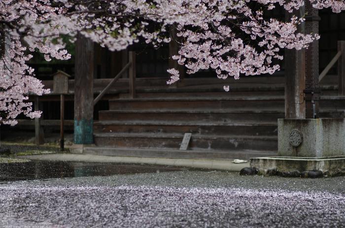 2011_4_本善寺・桜_26.jpg