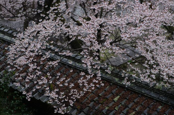 2011_4_本善寺・桜_31.jpg