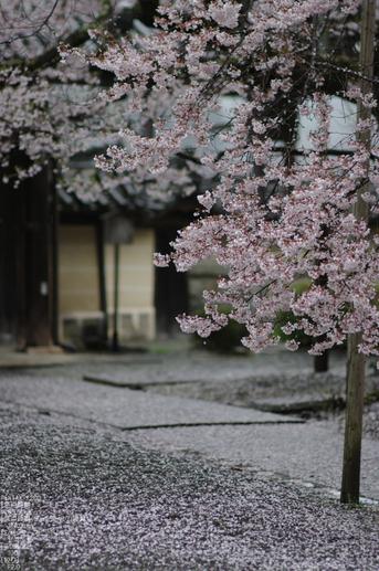 2011_4_本善寺・桜_34.jpg