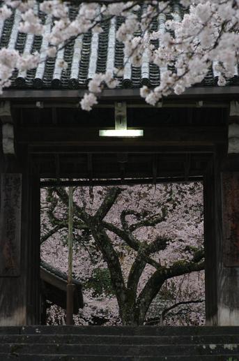 2011_4_本善寺・桜_ex2.jpg