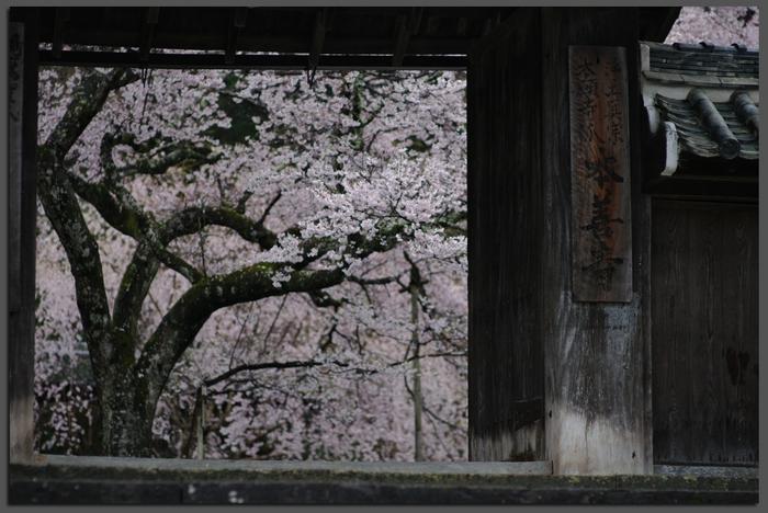 2011_4_本善寺・桜_top5.jpg