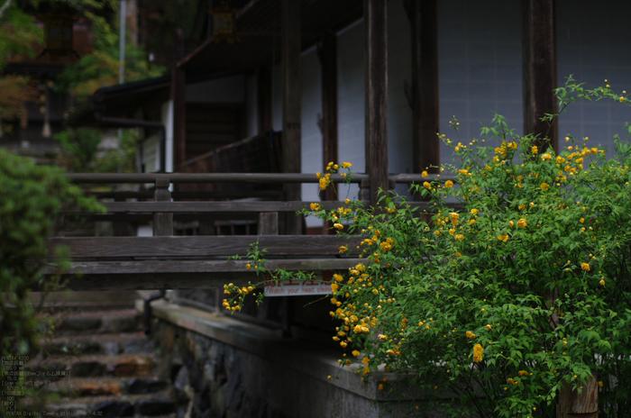 2011_4_松尾大社・山吹_11.jpg