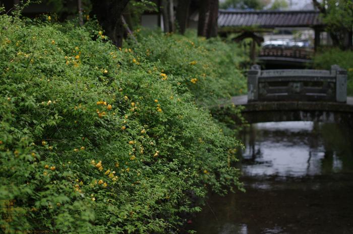 2011_4_松尾大社・山吹_5.jpg