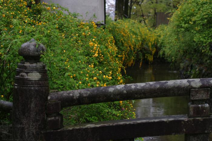2011_4_松尾大社・山吹_6.jpg