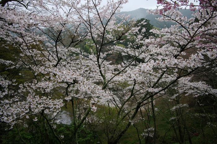 2011_4_談山神社・桜_2.jpg