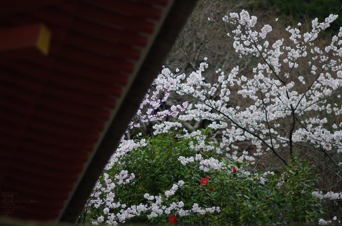 2011_4_長谷寺・桜_22.jpg