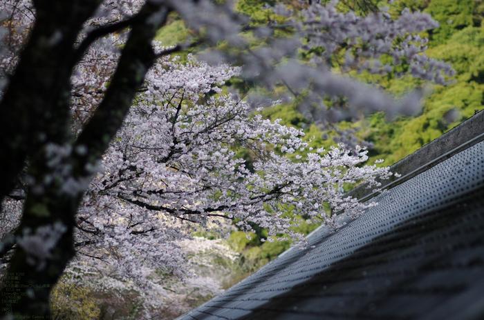 2011_4_長谷寺・桜_31.jpg