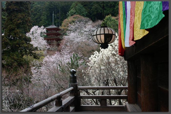 2011_4_長谷寺・桜_top2.jpg