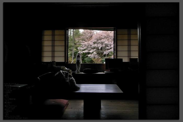 2011_4_月桜_top1.jpg