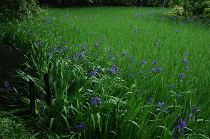 2011_5_大田神社・杜若_3.jpg