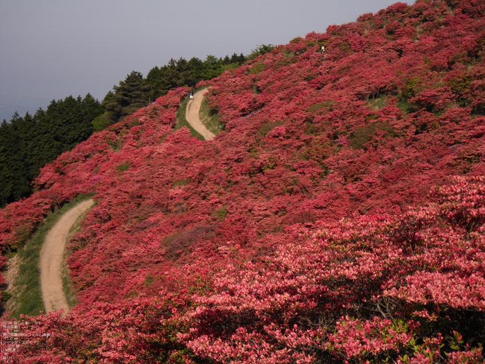 2011_5_葛城山・ツツジ_8.jpg