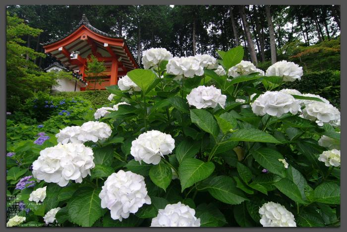 2011_6_三室戸寺・紫陽花_top1.jpg