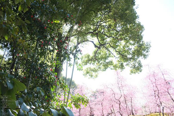城南宮梅花_2012_yaotomi_Xpro1_25.jpg